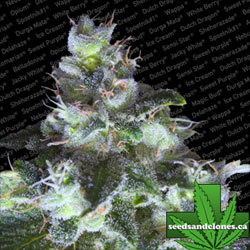Original White Widow Seeds