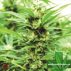 Emerald Jack Seeds