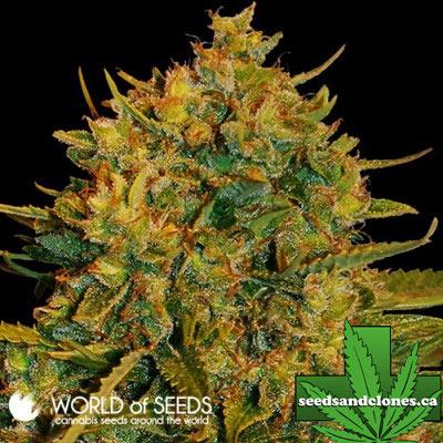 Northern Lights x Big Bud Seeds