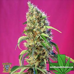 Black Jack CBD Seeds