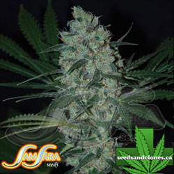 Green Love Potion Seeds