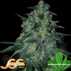Jekyll Passion Seeds