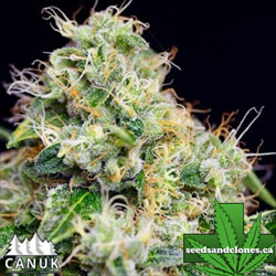 Killer Cheese Dawg Fast Seeds