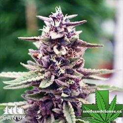 Purpura Uno CBD Regular Seeds