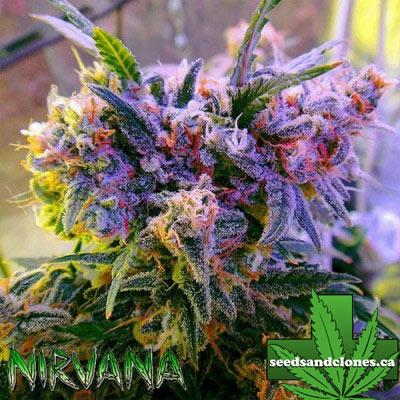 Aurora Indica Seeds