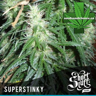 Auto Super Stinky Seeds