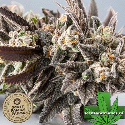 Cookie Cure Seeds